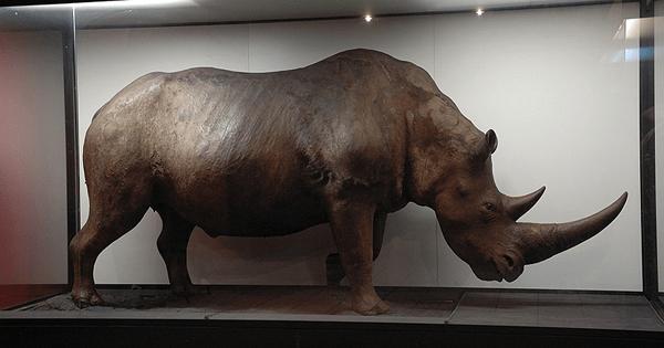 Przygotowanie do przeprowadzki – Nosorożec Włochaty w Krakowie